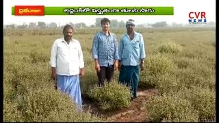 తులసి సాగుతో నిండా మునిగిన రైతులు | Tulsi Cultivated Farmers Huge Loss|Prakasam |Addanki|రైతే రాజు | - CVRNEWSOFFICIAL