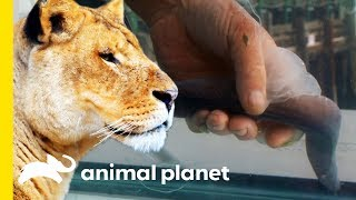 Why Do Only Lionesses Hunt, And What Makes Hagfish So Gross? | How Do Animals Do That? - ANIMALPLANETTV