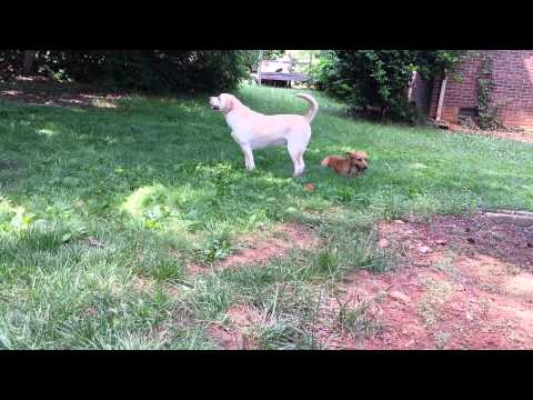 Baby Hope, the 2.5 legged dog, playing fetch.