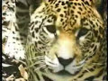 Jaguar escapes Anaconda then Kills and Eats it!