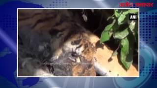 video : उत्तराखंड में मरा हुआ शेर बरामद