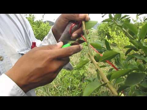 การขยายพันธุ์มะนาวด้วยวิธีการตอนกิ่ง(Lime propagation by air layering)