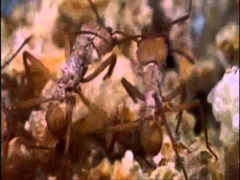Hormiga culona-  (Atta laevigata)