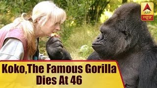 Koko, the famous gorilla who mastered sign language, dies at 46 - ABPNEWSTV