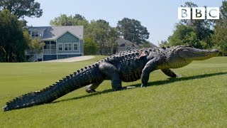 The Alligators taking over America's golf courses - BBC - BBC