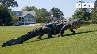 The Alligators taking over America's golf courses - BBC - BBC