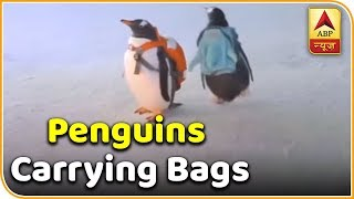 This Adorable Penguin Video Is Going Viral - ABPNEWSTV