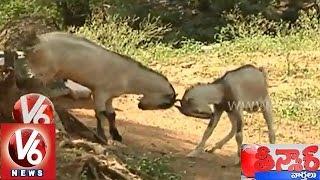 Funny fight between two goats - Teenmaar News - V6NEWSTELUGU