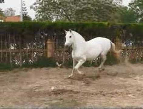 Andalusian horse Europe