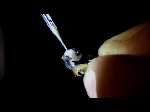 Instrumental Insemination of Honeybees - Extracting Semen