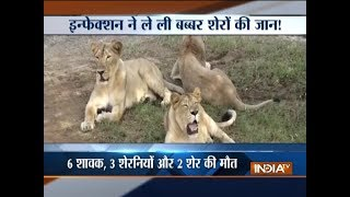 Gujarat: Eleven lions found dead in Gir forest - INDIATV