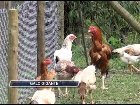 02-10-2013 - GALO GIGANTE - ZOOM TV JORNAL
