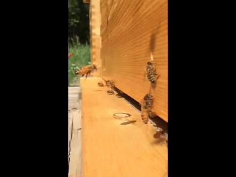 Beginner bee keeping - slow motion bee take offs and landings