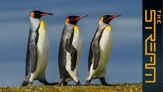 Why are king penguins being decimated? | The Stream - ALJAZEERAENGLISH