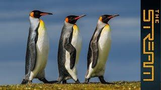 Why are king penguins being decimated?   The Stream - ALJAZEERAENGLISH