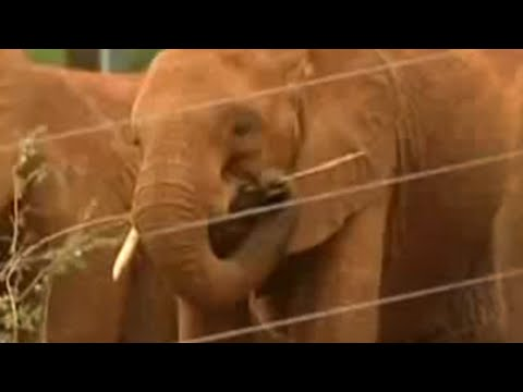 African elephants released back into the wild - BBC wildlife