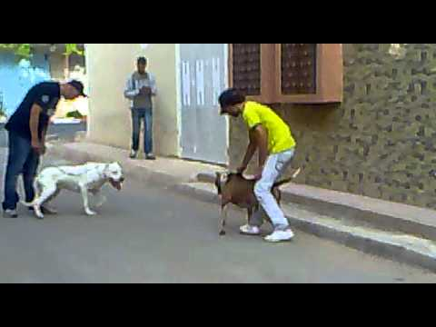 dog argentin combat pitbull oujda maroc