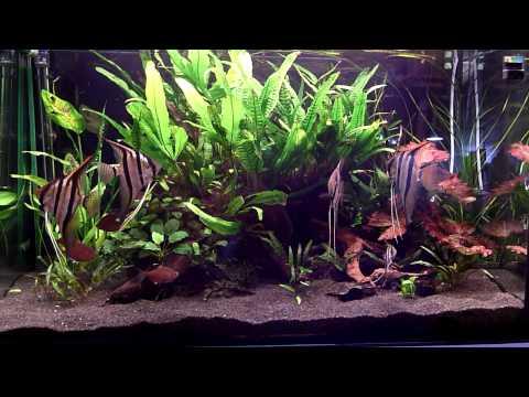 Peru altum skalar becken vidoemo emotional video unity for Skalar aquarium