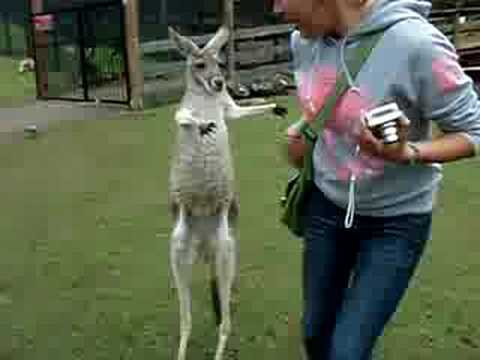 When Kangaroos Attack