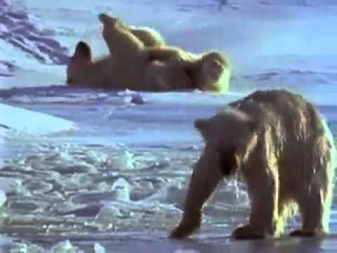 Kutup da Yaşam Kutup Ayıları Belgeseli (2. Part)