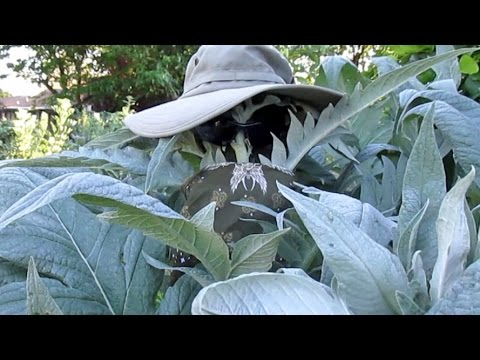 A Conversation With Cardoon   Harvesting, Cooking Recipe & Taste Test.