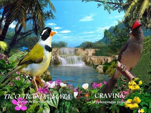 Os Melhores Pássaros Canoros do Brazil(DUMARIO)