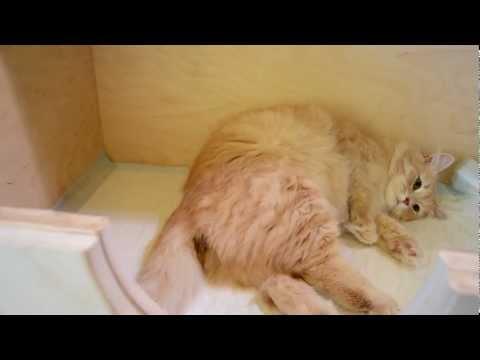 Poród u kotki - pierwszy urodzony przez nią kociak w jej życiu.:)