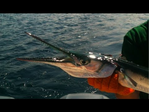 Spinning Fishing for Needlefish -   