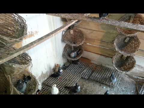 diyarbakır isimli  güvercinleri