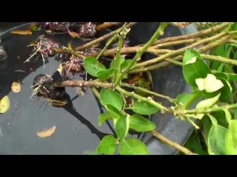 เทคนิคเกษตรดอทคอม วิธีการชำกิ่งมะนาวในแปลงปลูก