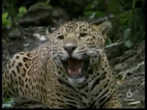 DUELO ANIMAL ANACONDA VS JAGUAR 5 5 FINAL   YouTube