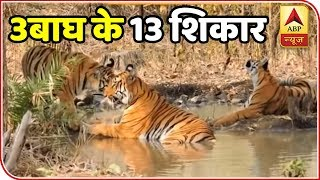 Hunt on for man-eating Tiger with cubs blamed for 13 deaths - ABPNEWSTV