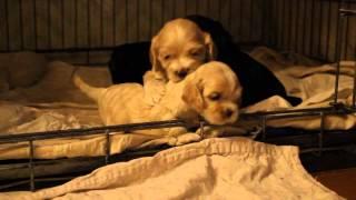 Милые щенки кокер спаниеля на продажу