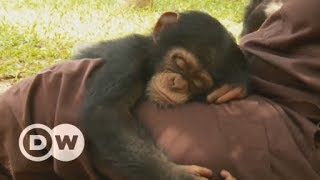 An orphanage for baby chimps in Liberia | DW English - DEUTSCHEWELLEENGLISH
