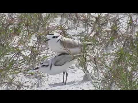 Caught in the Act: Snowy Plover Copulation