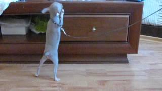 Лилово-подпалый мини щенок той-терьера шоу-класса