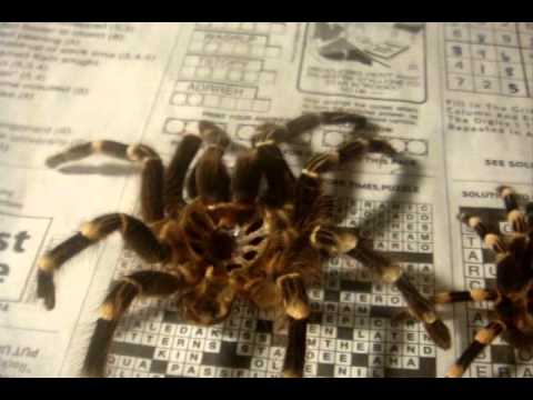 Sexing the Newly molted A.geniculata (Giant White Knee) & Incubator Plans
