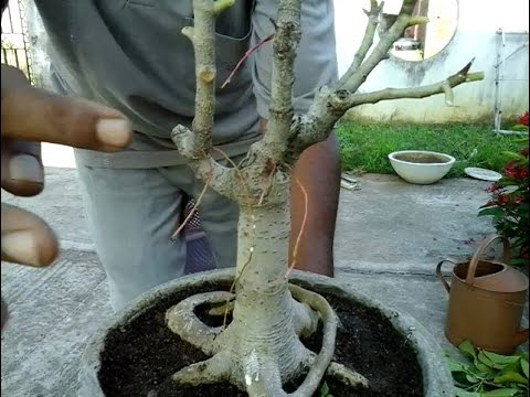 How to pruning (bonsai) small banyan tree