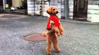 Pies chodzący na dwóch łapach