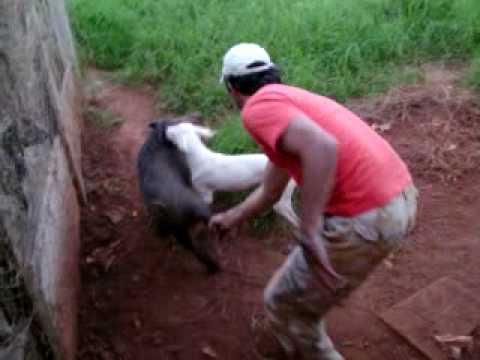 Jorge Hunter treinando dogo argentino de 5 meses no javali