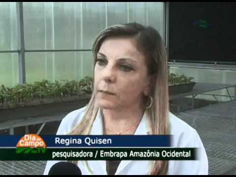 Castanha-do-brasil para reflorestamento na Amazônia - Dia de Campo na TV