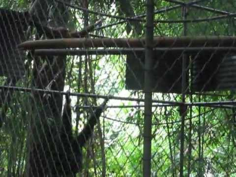 Gibbon swinging