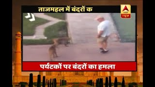 Agra: Foreign tourists injured after being attacked by monkeys inside Taj Mahal premises - ABPNEWSTV