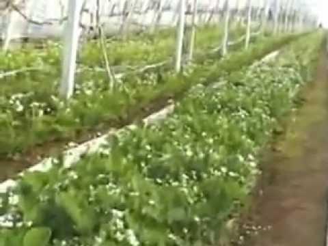 ЛПХ 'Павливские' Урожай винограда 2010г.