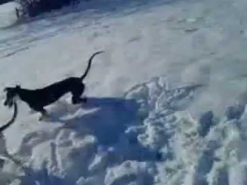 Saluki x Greyhounds Zues and Wolfie his sister stretching thy er legs in the snow