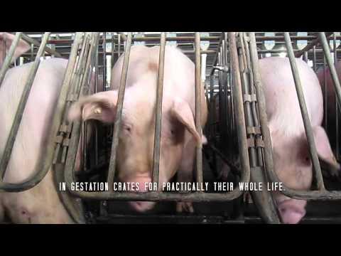 Impactos de la cría intensiva de cerdos en comunidades de Perote, México