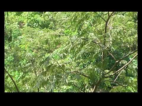 Suara Ayam hutan Hijau di hutan Buatan FIP-UNNES Gd.A2 Kampus Sekaran Semarang