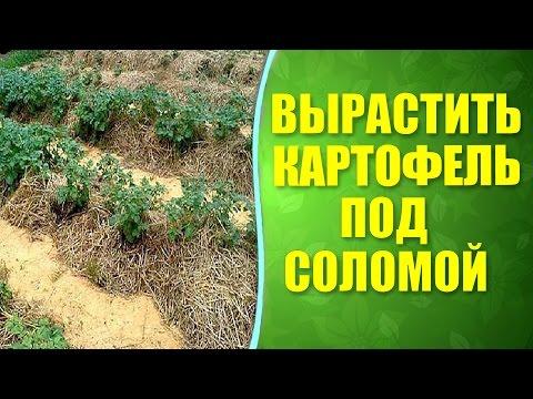 Картошку сажать под солому 25