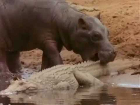 Hippo Vs Crocodile at the water hole Killing Frenzy 