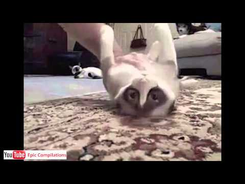 Epic Funny Cats Cute Cats Compilation 60 minutes HD HQ
